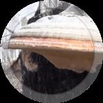 Агарикус  (листвиничная губка) 50 гр